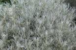 helichrysum_italicum_01