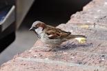 800px-house_sparrow