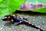 salamandrasalamandra02