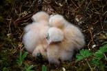 ARKive image GES052840 - Bonelli's eagle