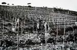 Plantação das vinhas